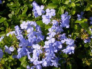 Plumbago, Imperial Blue